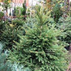 Ель колючая зелёная Глаука (Picea pungens Glauca) ФОТО Питомник растений Природа Priroda