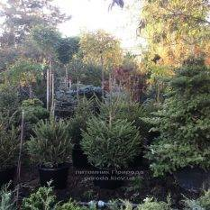 Ель обыкновенная/европейская (Pisea abies) ФОТО Питомник растений Природа Priroda