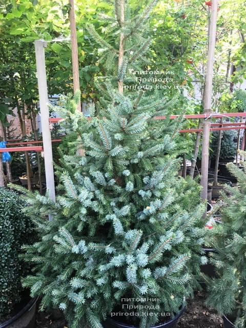 Ель Сербская (Picea omorica) ФОТО Питомник растений Природа Priroda (252)