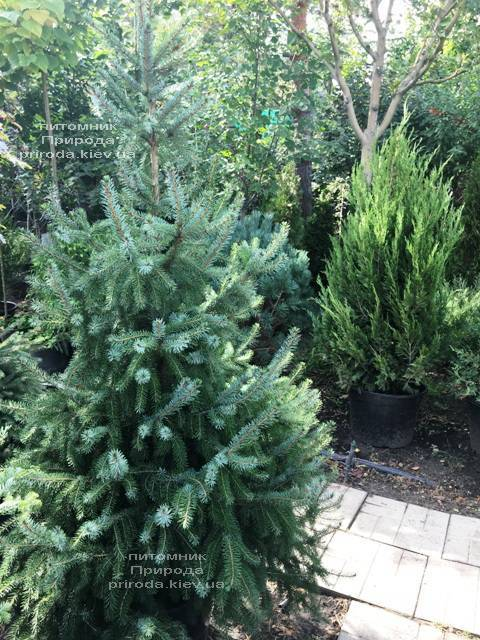 Ель Сербская (Picea omorica) ФОТО Питомник растений Природа Priroda