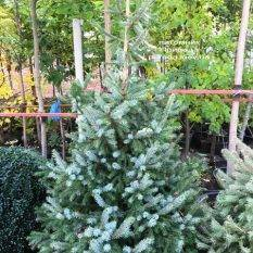 Ель Сербская (Picea omorica) ФОТО Питомник растений Природа Priroda (254)