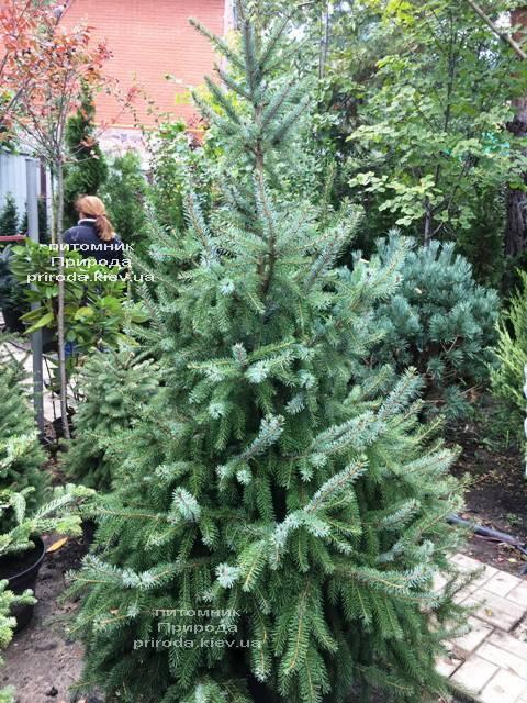 Ель Сербская (Picea omorica) ФОТО Питомник растений Природа Priroda (255)