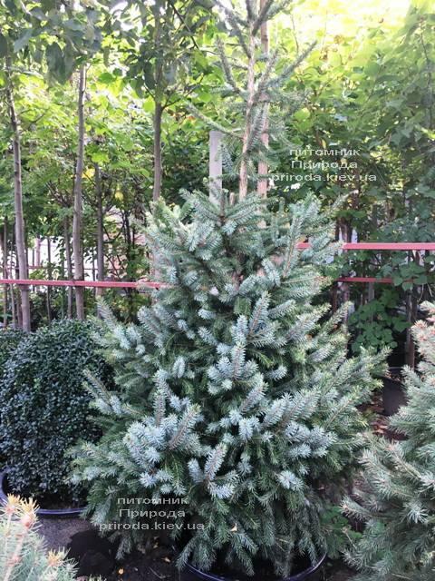 Ель Сербская (Picea omorica) ФОТО Питомник растений Природа Priroda (251)