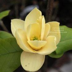 Магнолия Хоней Тюлеп (Honey Tulip) ФОТО Питомник растений Природа Priroda