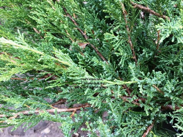 Можжевельник казацкий Блю Данау / Блю Дануб (Juniperus sabina Blaue Donau / Blue Danube) ФОТО Питомник растений Природа Priroda (252)