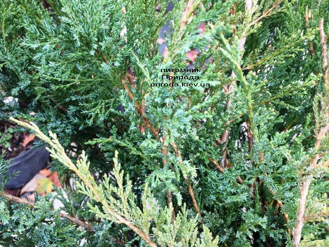 Можжевельник казацкий Блю Данау / Блю Дануб (Juniperus sabina Blaue Donau / Blue Danube) ФОТО Питомник растений Природа Priroda (247)