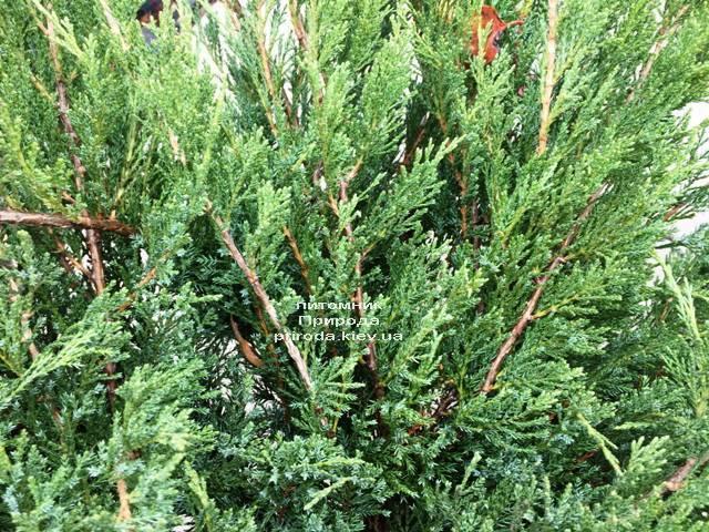 Можжевельник казацкий Блю Данау / Блю Дануб (Juniperus sabina Blaue Donau / Blue Danube) ФОТО Питомник растений Природа Priroda (248)