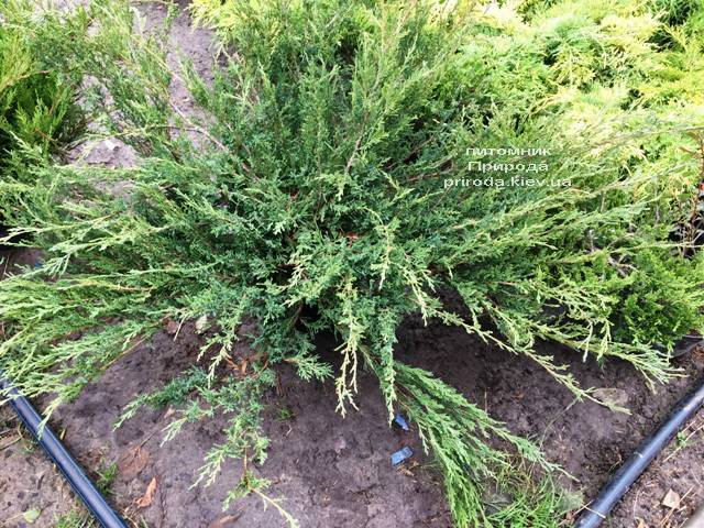 Можжевельник казацкий Блю Данау / Блю Дануб (Juniperus sabina Blaue Donau / Blue Danube) ФОТО Питомник растений Природа Priroda (249)