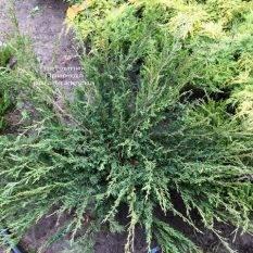 Можжевельник казацкий Блю Данау / Блю Дануб (Juniperus sabina Blaue Donau / Blue Danube) ФОТО Питомник растений Природа Priroda