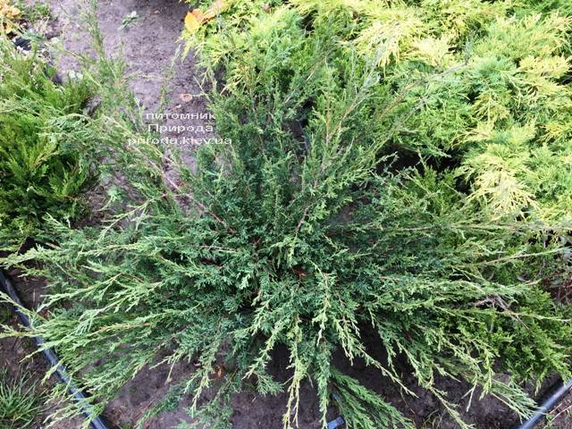 Можжевельник казацкий Блю Данау / Блю Дануб (Juniperus sabina Blaue Donau / Blue Danube) ФОТО Питомник растений Природа Priroda (250)