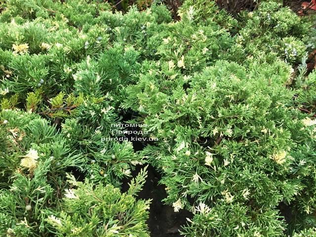 Можжевельник китайский Экспанса Вариегата (Juniperus chnensis Expansa Variegata) ФОТО Питомник растений Природа Priroda (260)
