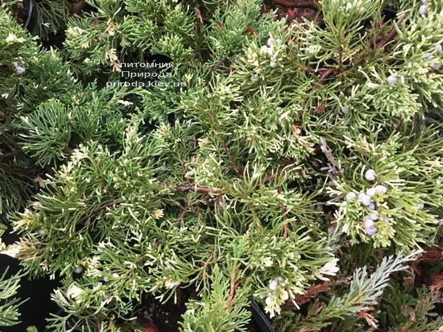 Можжевельник китайский Экспанса Вариегата (Juniperus chnensis Expansa Variegata) ФОТО Питомник растений Природа Priroda (261)
