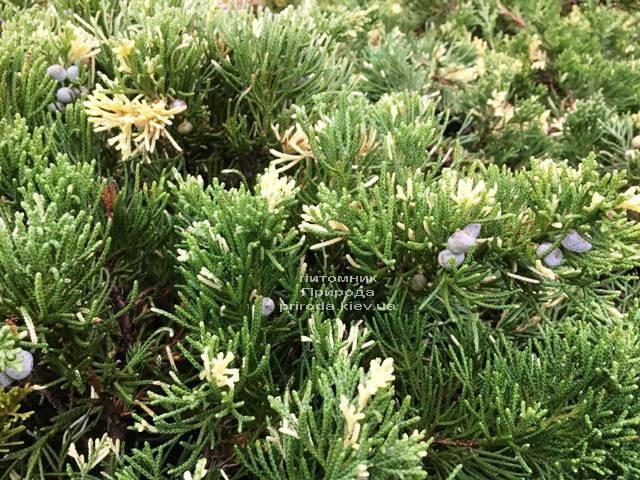 Можжевельник китайский Экспанса Вариегата (Juniperus chnensis Expansa Variegata) ФОТО Питомник растений Природа Priroda