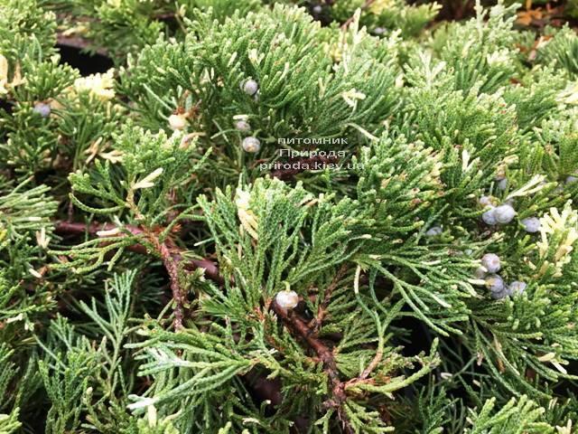 Можжевельник китайский Экспанса Вариегата (Juniperus chnensis Expansa Variegata) ФОТО Питомник растений Природа Priroda (263)