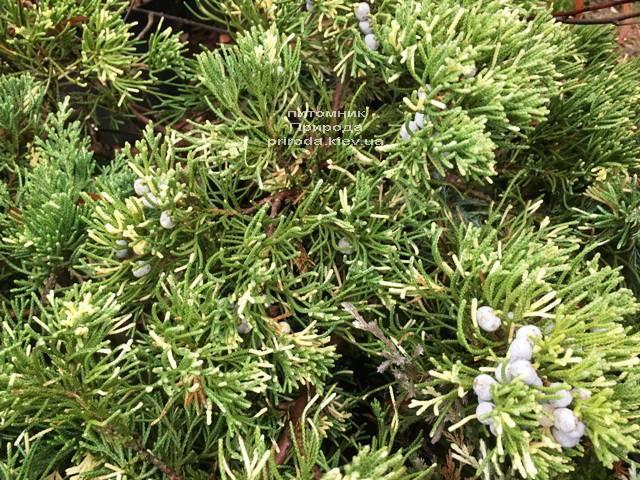 Можжевельник китайский Экспанса Вариегата (Juniperus chnensis Expansa Variegata) ФОТО Питомник растений Природа Priroda (264)