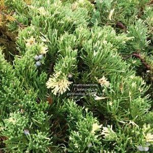 Можжевельник китайский Экспанса Вариегата (Juniperus chnensis Expansa Variegata) ФОТО Питомник растений Природа Priroda (265)