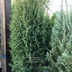 Можжевельник обыкновенный Хиберника (Juniperus communis Hibernica) ФОТО Питомник растений Природа Priroda
