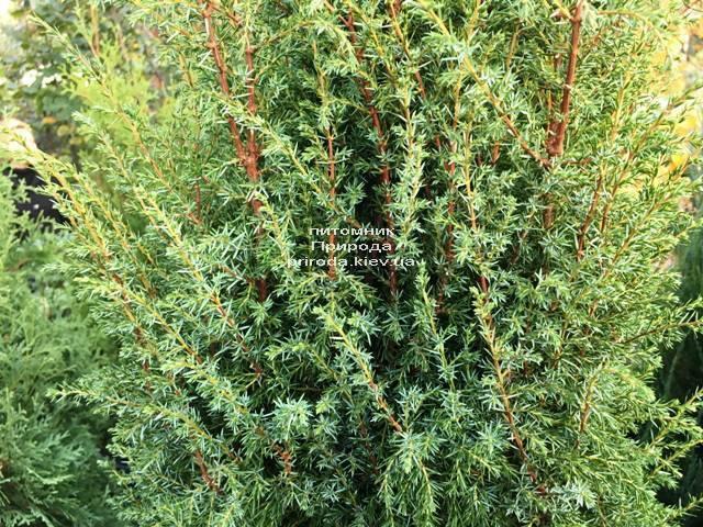 Можжевельник обыкновенный Хиберника (Juniperus communis Hibernica) ФОТО Питомник растений Природа Priroda (240)
