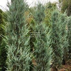 Можжевельник скальный Скайрокет (Juniperus scopulorum Skyrocket) ФОТО Питомник растений Природа Priroda (236)