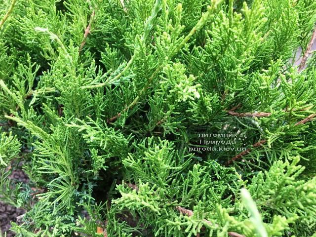 Можжевельник средний / пфитцериана Минт Джулеп (Juniperus media / pfitzeriana Mint Julep) ФОТО Питомник растений Природа Priroda