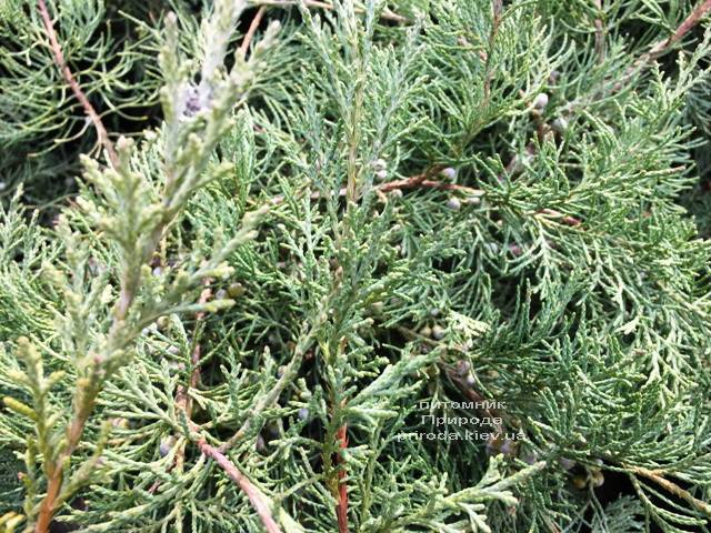 Можжевельник виргинский Хетц (Juniperus virginiana Hetz) ФОТО Питомник растений Природа Priroda (256)