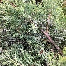 Можжевельник виргинский Хетц (Juniperus virginiana Hetz) ФОТО Питомник растений Природа Priroda (257)