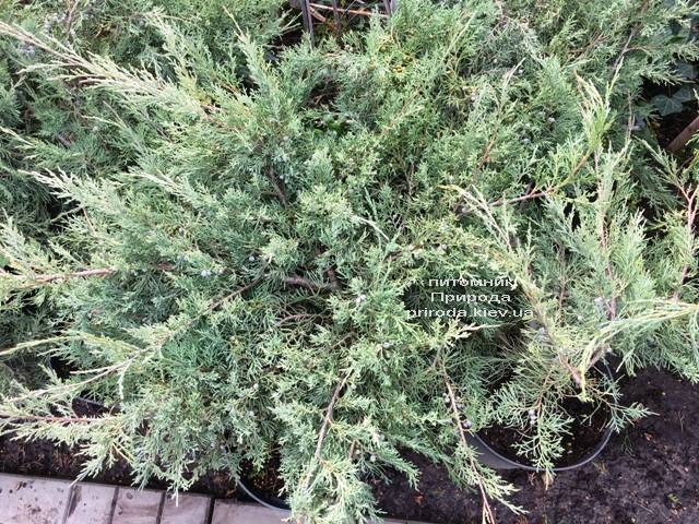 Можжевельник виргинский Хетц (Juniperus virginiana Hetz) ФОТО Питомник растений Природа Priroda