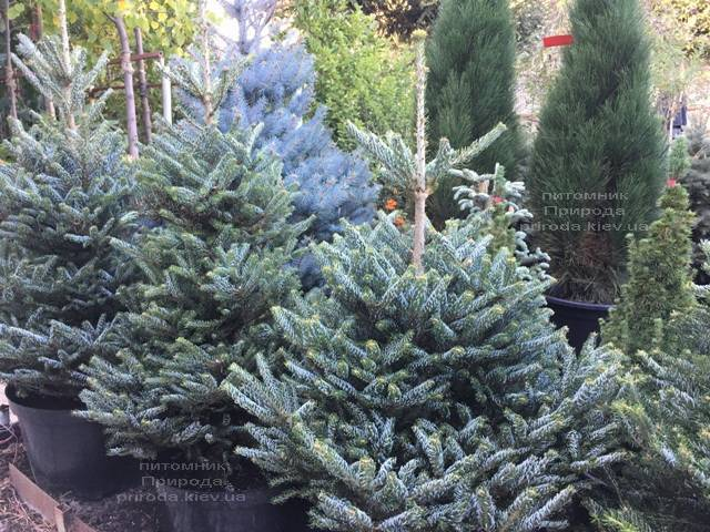 Пихта корейская Силберлок (Abies koreana Silberlocke) ФОТО Питомник растений Природа Priroda (82)