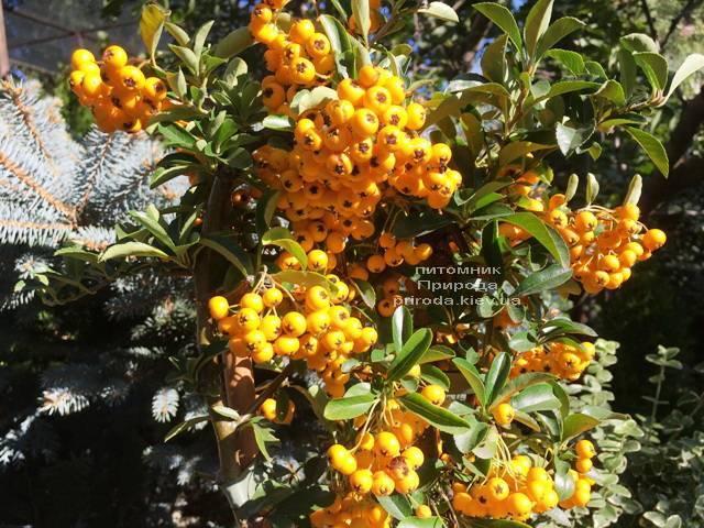 Пираканта (Pyracantha) ФОТО Питомник растений Природа Priroda