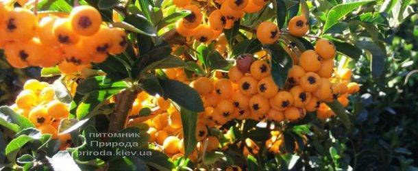 Пираканта (Pyracantha) ФОТО Питомник растений Природа Priroda (5)