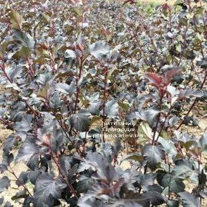Пузыреплодник калинолистный Диаболо (Physocarpus opulifolius Diabolo) ФОТО Питомник растений Природа Priroda (22)