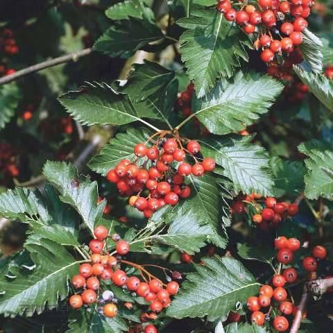 Горобина проміжна (шведська / скандинавська) (Sorbus intermedia) ФОТО Розплідник рослин Природа Priroda (22)