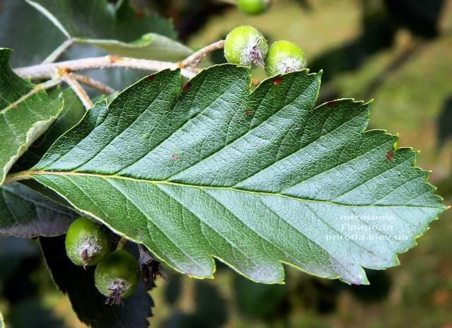Рябина промежуточная (шведская / скандинавская) (Sorbus intermedia) ФОТО Питомник растений Природа Priroda (23)