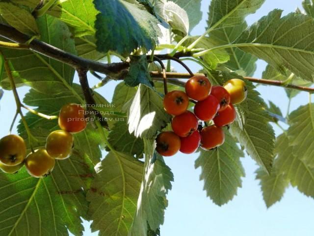 Рябина промежуточная (шведская / скандинавская) (Sorbus intermedia) ФОТО Питомник растений Природа Priroda (25)