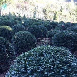 Самшит вечнозелёный Шар (Buxus sempervirens Boll) ФОТО Питомник растений Природа Priroda (20)