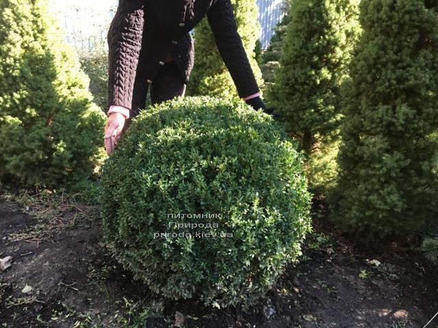 Самшит вечнозелёный Шар (Buxus sempervirens Boll) ФОТО Питомник растений Природа Priroda (21)