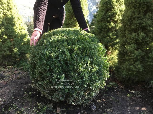 Самшит вечнозелёный Шар (Buxus sempervirens Boll) ФОТО Питомник растений Природа Priroda (22)