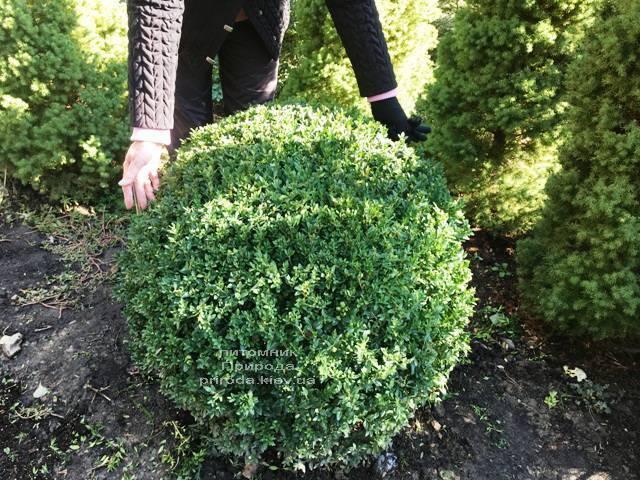 Самшит вечнозелёный Шар (Buxus sempervirens Boll) ФОТО Питомник растений Природа Priroda