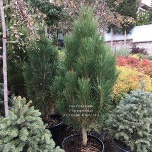 Сосна чёрная Грин Тауэр (Pinus nigra Green Tower) ФОТО Питомник растений Природа Priroda (118)