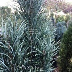 Сосна обыкновенная Фастигиата (Pinus sylvestris Fastigiata) ФОТО Питомник растений Природа Priroda