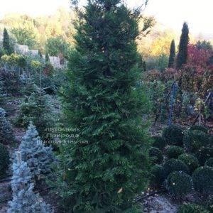 Туя складчатая гиганская (Thuja plicata) ФОТО Питомник растений Природа Priroda (85)