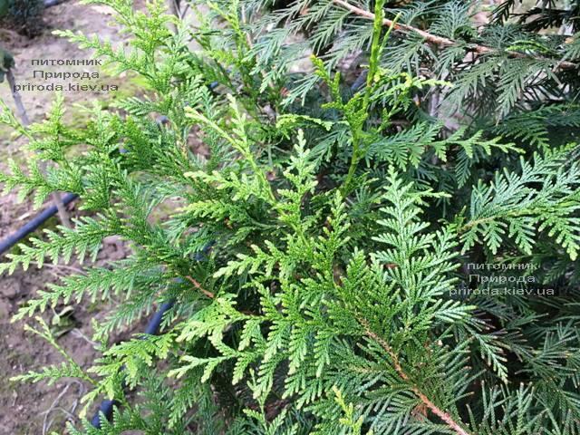 Туя складчатая Корник (Thuja plicata Kornik) ФОТО Питомник растений Природа Priroda