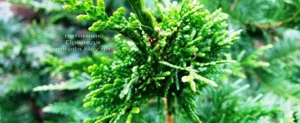 Туя складчатая Корник (Thuja plicata Kornik) ФОТО Питомник растений Природа Priroda (82)