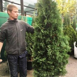 Туя западная колоновидная Колумна (Thuja occidentalis Columna) ФОТО Питомник растений Природа Priroda (95)