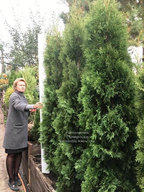 Туя западная колоновидная Колумна (Thuja occidentalis Columna) ФОТО Питомник растений Природа Priroda (106)