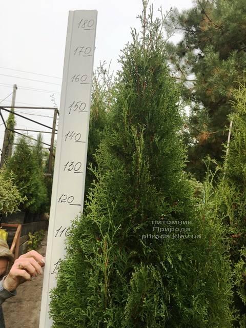 Туя западная колоновидная Колумна (Thuja occidentalis Columna) ФОТО Питомник растений Природа Priroda (102)