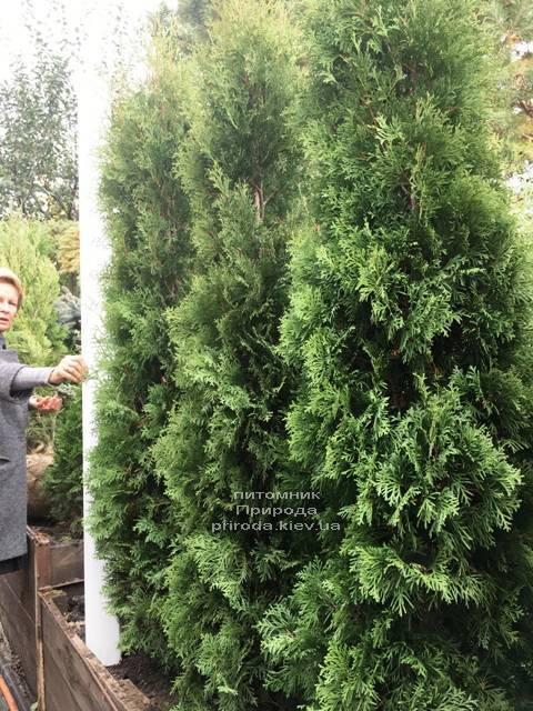 Туя западная колоновидная Колумна (Thuja occidentalis Columna) ФОТО Питомник растений Природа Priroda (108)