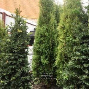 Туя западная колоновидная Колумна (Thuja occidentalis Columna) ФОТО Питомник растений Природа Priroda (104)