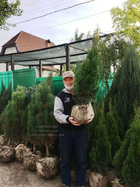 Туя западная Смарагд (Thuja occidentalis Smaragd) ФОТО Питомник растений Природа Priroda (92)