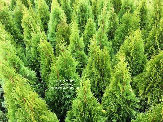 Туя западная Смарагд (Thuja occidentalis Smaragd) ФОТО Питомник растений Природа Priroda (100)